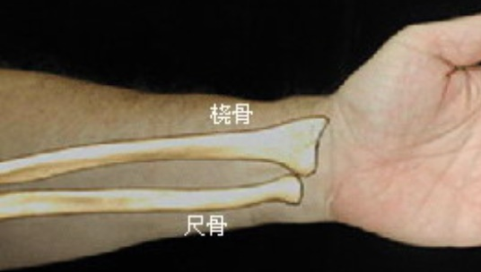 桡骨解剖结构图