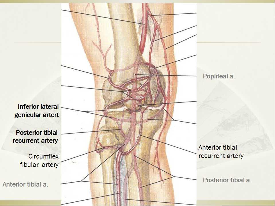 本文作者—上海市第六人民医院的罗从风主任先简单介绍了膝关节的血管